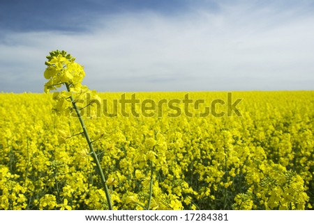 Canola Field of Yellow with cloudy sky
