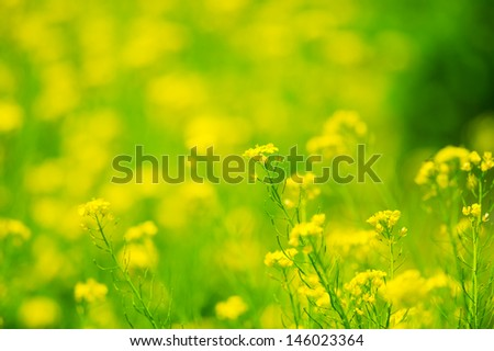 Canola Flower. This image was taken in Chiba Prefecture, Japan