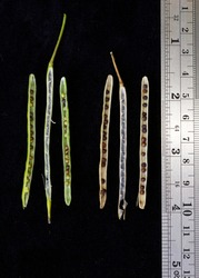 Canola green and mature opened siliques with seeds on black background with ruler.