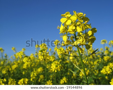 Canola with blue sky horizontal