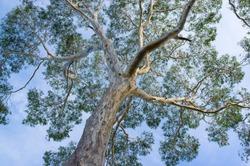 Canopy of big Australian Eucalyptus tree looking up at the sky