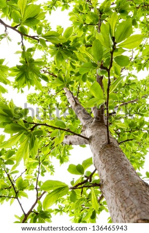 Canopy of plum tree at spring with lush foliage.