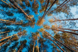 Canopy Of Tall Pine Trees. Upper Branches Of Woods In Coniferous Forest. Low Angle View