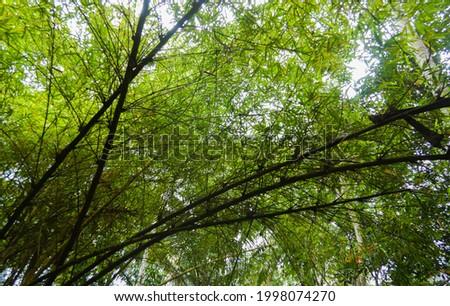 canopy of yellow bamboo plant, Bambusa strita or Bambusa vulgaris  Zdjęcia stock ©