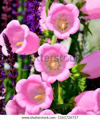 Free photos pink bells flower avopix canterbury bell flowers bunch beautiful pink canterbury bell flowers 1161726727 mightylinksfo
