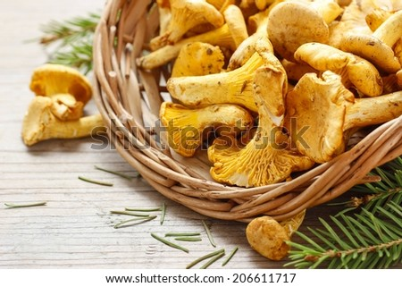 Cantharellus cibarius, commonly known as the chanterelle, golden chanterelle or girolle. Mushrooms in wicker basket.  - stock photo