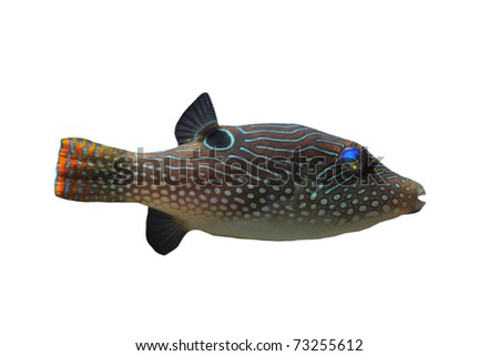canthigaster solandri in front of white background