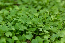 Cantonese green lettuce in garden. Macro of cantonese vegetable sprouts awash wate. Small sprouts of basil. Green seedlings. Organic vegetable garden. Plants germination background.