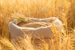 Canvas bag with wheat grains and mown wheat ears in field at sunset. Concept of grain harvesting in agriculture