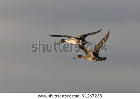 Canvasback Ducks in Flight Saskatchewan Canada