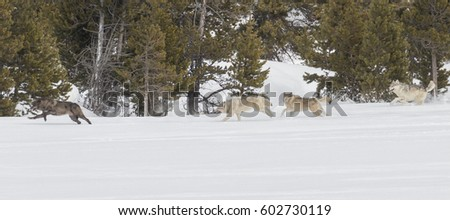 Canyon Pack of wolves running through the snow in Yellowstone National Park.