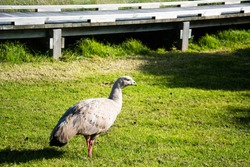 Cape Barren geese and family in the green grass near sea at The Nobbies on Phillip Island in Victoria, Australia.