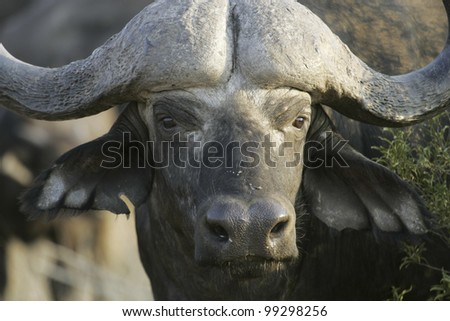 Cape Buffalo (Syncerus caffer), South Africa