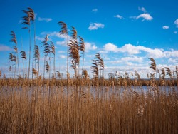 Cape Cod Winter Landscape with Tall Common Reeds over Marsh Land