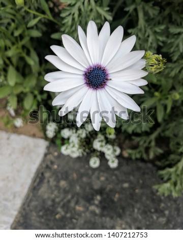 Cape Daisy in full bloom Stock photo ©