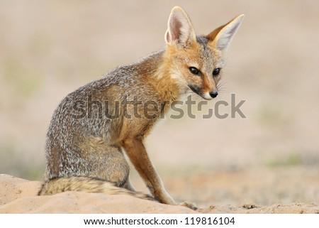 Cape fox (Vulpes chama) sitting outside its den, Kalahari desert, South Africa