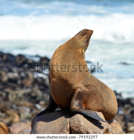 Cape Fur Seals on Cape Cross,Namibia,Africa