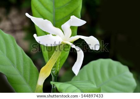 Cape gardenia, White Gardenia flower, Cape Jasmine  or Gardenia jasminoides