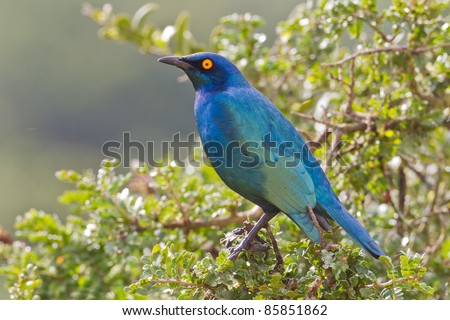 Cape glossy starling (lamprotornis nitens) at Addo Elephant Park in South Africa.