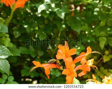 Cape honeysuckle or Tecomaria capensis shrub with orange flowers, and a male carpenter bee or xylocopa, in Glyfada, Attica, Greece