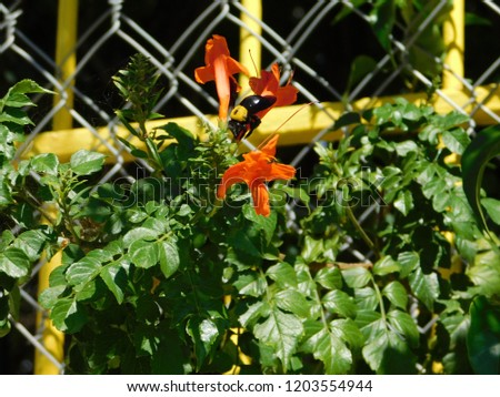 Cape honeysuckle or Tecomaria capensis shrub with orange red flowers, and a carpenter bee or xylocopa, in Glyfada, Attica, Greece