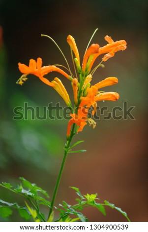 Cape honeysuckle (Tecomaria capensis) flower. Mpumlanga. South Africa