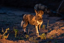 Cape Hunting Dogs, also called Wilddogs, often smash about in water after a good meal.