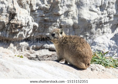 Cape Hyrax (Rock Rabbit, Rock Hyrax, Dassie), Procavia capensis, Stony Point Nature Reserve, Betty's Bay, South Africa on guano covered rocks #1515152351