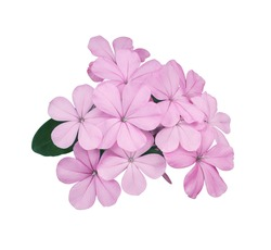 Cape leadwort, White plumbago, Close up beautiful pink-purple flowers bouquet of Cape leadwort tree isolated on white background with clipping path. Single small exotic flowers bunch.