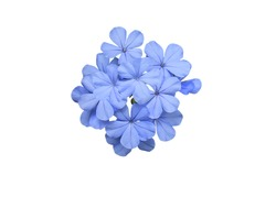 Cape leadwort, White plumbago, Plumbago auriculata, Beautiful tiny blue bouquet flowers, Small daisies flowers bunch isolated on white background. with clipping path