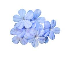 cape leadwort, white plumbago, Plumbago auriculata, Blue flower isolated on white background.