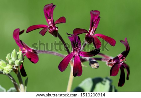 Cape Pelargonium, Pelargonium sidoides also called Umckaloabo, is a beautiful balcony flower with purple flowers. It is an important medicinal plant and is used in medicine.