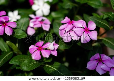 Cape Periwinkle, Rose Periwinkle, Rosy Periwinkle, #1359083159