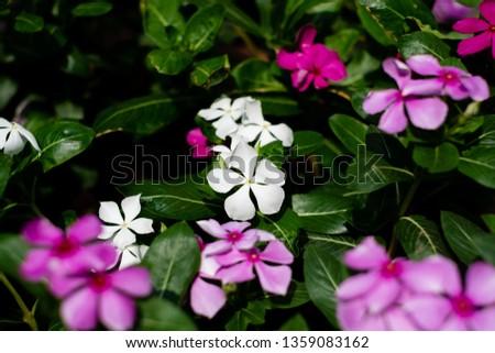 Cape Periwinkle, Rose Periwinkle, Rosy Periwinkle, #1359083162