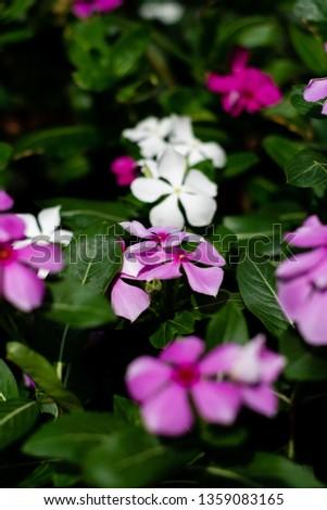 Cape Periwinkle, Rose Periwinkle, Rosy Periwinkle, #1359083165