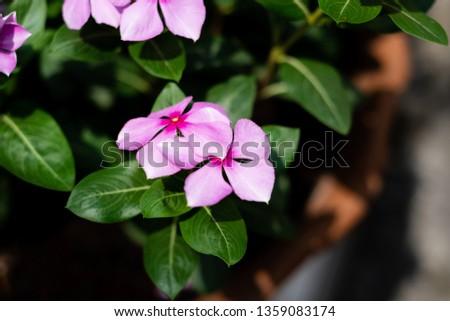 Cape Periwinkle, Rose Periwinkle, Rosy Periwinkle, #1359083174