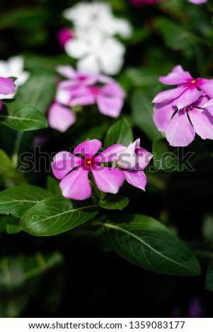 Cape Periwinkle, Rose Periwinkle, Rosy Periwinkle, #1359083177