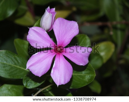"""Cape Periwinkle, Rose Periwinkle, Rosy Periwinkle, and """"Old-maid"""" #1338708974"""