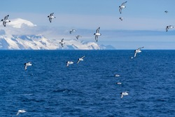 Cape Petrels (Pintados) with some Southern (Antarctic) Fulmars fly behind a ship in the Southern Ocean near the Antarctic Peninsula, with a large glacier and dark blue sea in the background.
