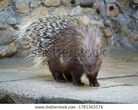 Photo of  Cape porcupine or South African porcupine. Hystrix africaeaustralis. Brown fur and black and white spines on the back.