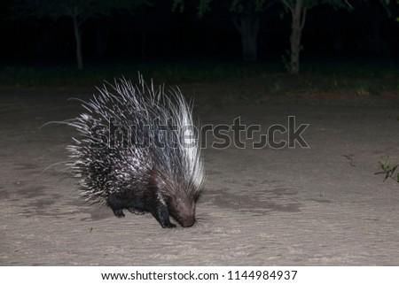 Cape porcupine or South African porcupine, (Hystrix africaeaustralis). Kalahari. Botswana
