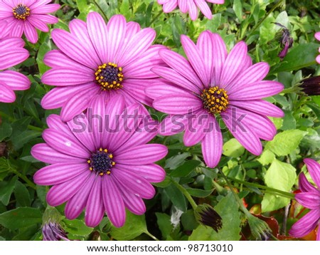 Cape rain daisy Stock photo ©
