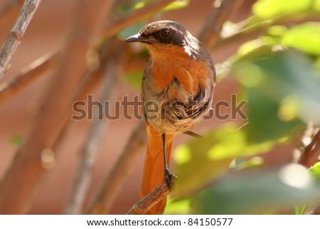 Cape Robin sitting in tree. - stock photo