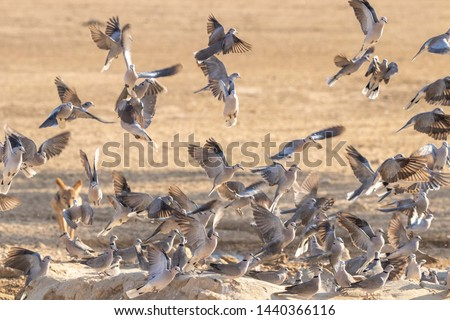Cape Turtle Doves in flight. The doves were startled when a jackal approached the waterhole seen in the background #1440366116