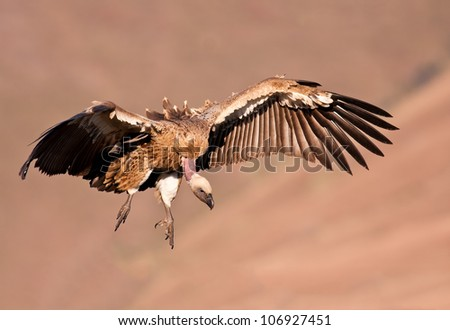 Cape Vulture flying looing for food on the ground