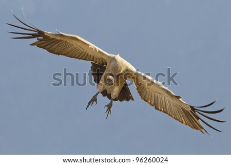 Cape Vulture (Gyps coprotheres) in flight, South Africa