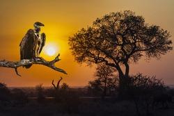Cape vulture in Sunrise landscape in Kruger National park, South Africa
