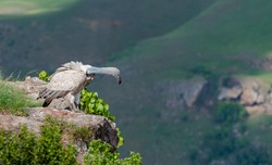 Cape Vulture or Cape Griffon at the World famous Giant's Castle Vulture Hide In the Drakensberg mountains