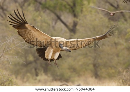 Cape Vulture or Cape Griffon (Gyps coprotheres) in South Africa