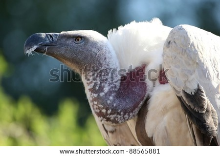 Cape Vulture or Griffon's Vulture with big beak and bare neck